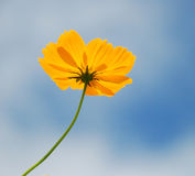 Yellow Cosmos flower and blue sky Stock Photo