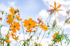 Yellow Cosmos flower royalty free stock photos