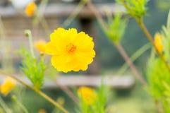 Yellow cosmos flower Stock Image