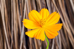 Yellow cosmos flower on blur brown background Stock Photography