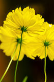 Yellow Cosmos flower Stock Photography