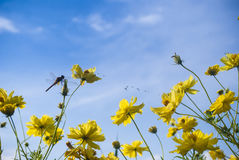 Yellow cosmos flower and dragonfly. Autumn forest background yellow cosmos flower and dragonfly. bipinnatus Sonata flowers in the garden Royalty Free Stock Image
