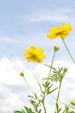 Yellow cosmos flower Family Composite Stock Image