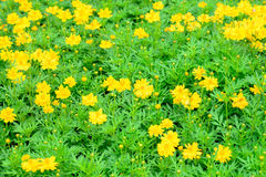 Yellow cosmos flower field Stock Images