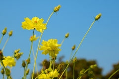 Yellow Cosmos flower. In the field Royalty Free Stock Images