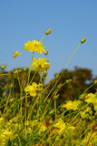 Yellow Cosmos flower. In the field Royalty Free Stock Photo