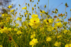 Yellow Cosmos flower. In the field Stock Images