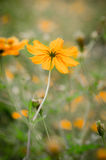 Yellow cosmos flower. In the field Stock Photo