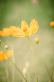 Yellow cosmos Royalty Free Stock Photo