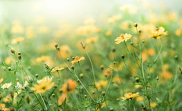 Yellow Cosmos flower field, flower background. With sun light and selective focus Stock Images