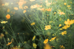Yellow Cosmos flower field, flower background. With sun light and selective focus Stock Photography