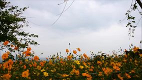 Yellow cosmos flower field with sky in the spring stock video