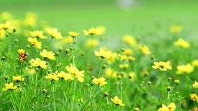 Yellow cosmos flower in field. Yellow cosmos flower in the wind at cosmos field. 4k stock footage