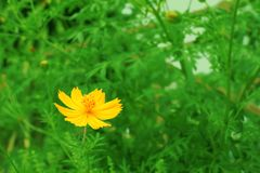 Yellow cosmos flower. Stock Images