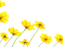 Yellow cosmos flower isolated on white background Royalty Free Stock Photography