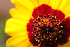 A yellow Cosmos flower. Royalty Free Stock Photography