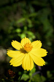 Yellow Cosmos Flower. Single of Yellow Cosmos Flower stock image