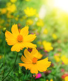 Yellow Cosmos flower Royalty Free Stock Images