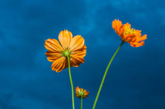 Yellow Cosmos Flower under Cloudy Sky. (dark process Royalty Free Stock Photography