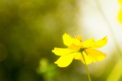 Yellow cosmos flower under sunlight flare effect on blurry backg Stock Photography
