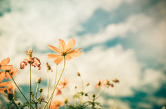 Yellow Cosmos flower vintage Royalty Free Stock Images