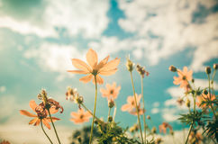 Yellow Cosmos flower vintage Royalty Free Stock Photos