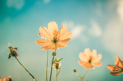 Yellow Cosmos flower vintage stock images