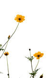 Yellow Cosmos flower& x28;Sulfur Cosmos& x29; background Stock Images