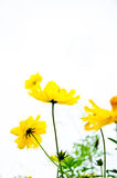 Yellow cosmos flowers Royalty Free Stock Photos