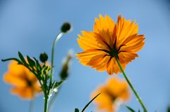 Yellow cosmos flowers against blue sky. Royalty Free Stock Images