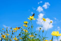 Yellow cosmos flowers against the bright blue sky. And white cloud stock photos