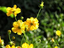 Yellow cosmos flowers blooming in the garden. selective focus stock images