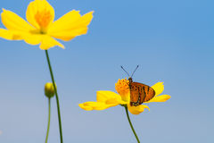Yellow cosmos flowers and butterfly Royalty Free Stock Photography