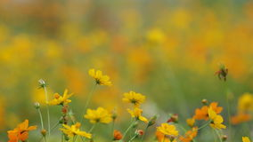 Yellow cosmos flowers with gently wind stock footage