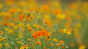 Yellow cosmos flowers with gently wind stock video footage