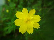Yellow cosmos flowers on green nature royalty free stock image