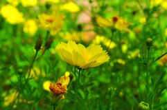 Yellow cosmos flowers on green nature stock photography