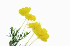 Yellow cosmos flowers isolated on white background royalty free stock images