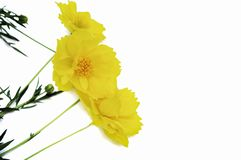 Yellow cosmos flowers isolated on white background stock images