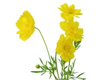 Yellow cosmos flowers isolated on white background stock photo