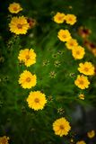 Yellow cosmos flowers in a park royalty free stock photo