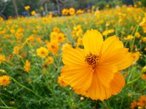 Yellow cosmos flowers. In public garden Royalty Free Stock Photos