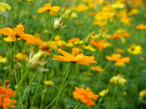 Yellow cosmos flowers royalty free stock images