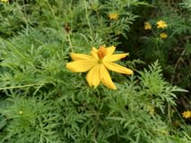 Yellow Cosmos. Nice flower on the morning Royalty Free Stock Photography