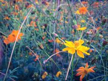 Yellow cosmos Stock Image
