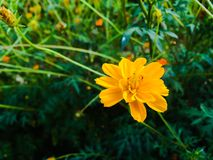 Yellow cosmos Royalty Free Stock Photos