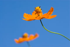 Yellow Cosmos in the sky Stock Photography
