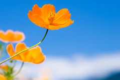 Yellow Cosmos in the sky Royalty Free Stock Photos