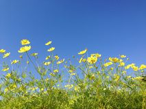 Yellow cosmos. Spring cosmos basking under the blue skies stock image
