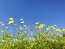 Yellow cosmos Stock Image